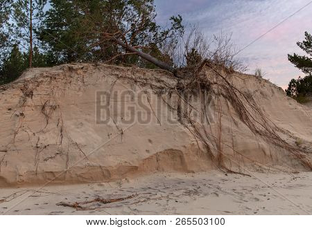 Fallen Tree On The Washed-up Sand Shore Dune Erosion Baltic Sea