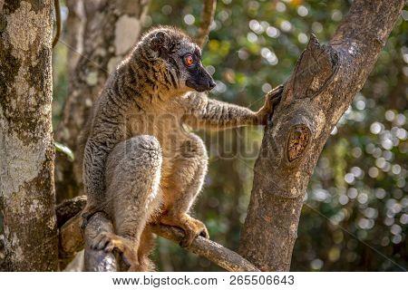 Common Brown Lemur - Red Lemur (eulemur Rufus), Endangered, Endemic.