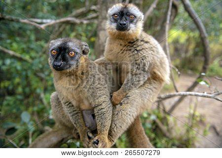 Common Brown Lemur - Red Lemur (eulemur Rufus), Endangered, Endemic.madagascar