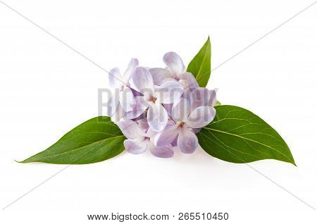 The Lilac Flowers Isolated On White Background