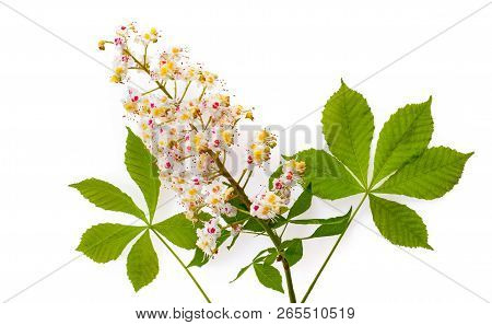 Horse-chestnut (aesculus) With Leawes And Flower. Isolated On White Background