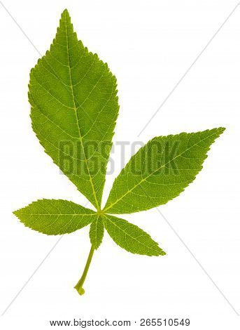 Chestnut Tree Leaves Isolated On White Background