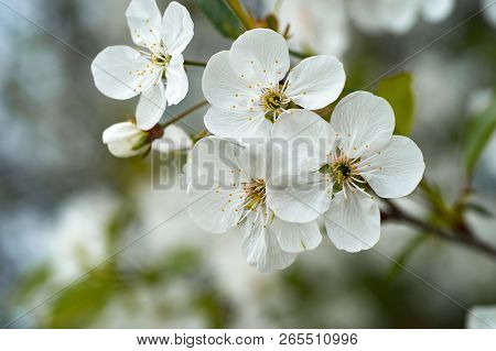 Cherry Blossoms In The Garden In The Spring Close-up