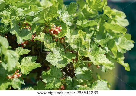 Black Currant Plant Branch With A Green Garden Background
