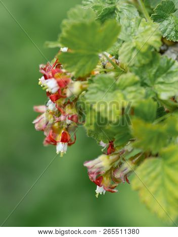 Flowers Gooseberry Blooming On A Branch Of Bush In Garden Closeup, Nature Background With Selective
