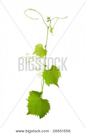 Vine on a white background