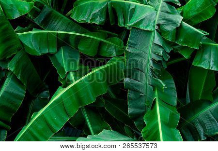 Banana Green Leaves Texture Background. Banana Leaf In Tropical Forest. Green Leaves With Beautiful