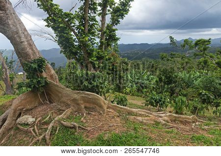 Kapok Tree Or Ceiba Pentandra On Hilltop Of Cordillera Central In Ponce Puerto Rico