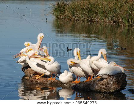 Pecking Order On A Log Is Maintained With An Old Pelican Placing His Beak Around The Neck Of A Young