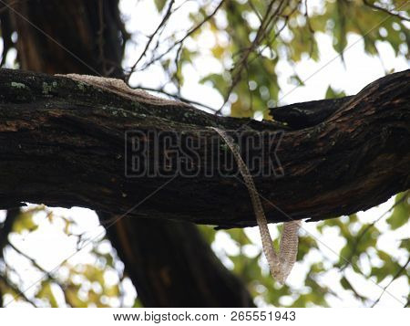 A Rattlesnake Sheds Its Skin On The Bark Of A Tree Branch. Snakes Do Climb Trees.