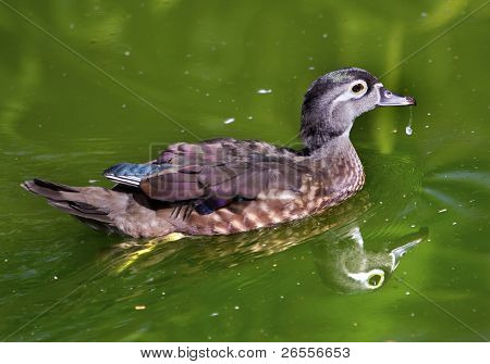 Female Wood Duck With Reflection