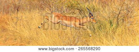 Panorama Of Young Impala Male Or Melampus, Aepyceros Melampus, Jumping In Savannah. Pilanesberg Nati