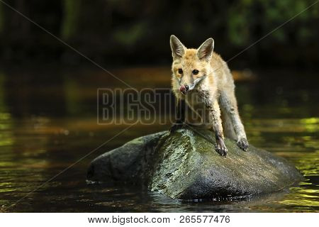 Young Vixen Of Red Fox Stay In River - Vulpes Vulpes