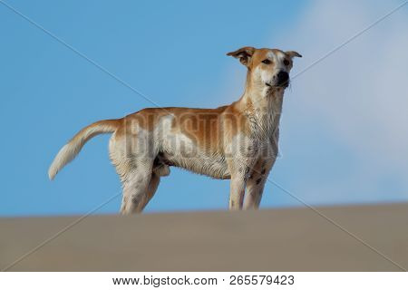 Wandering pied dog on the beach in Cape Verde Islands, Boa Vista. poster