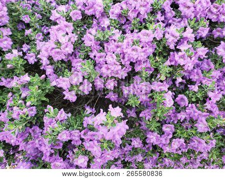 Desert Salvia Arizonica Or Purple  Blue Arizona Sage Foliage