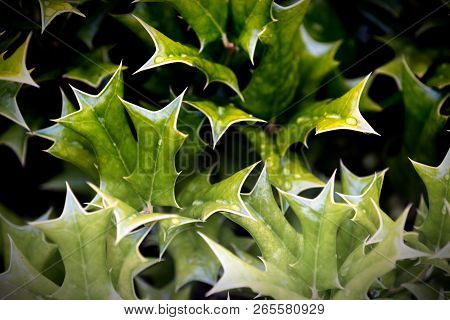 Close Up Holly Leaves Grouped In Abstract Pattern
