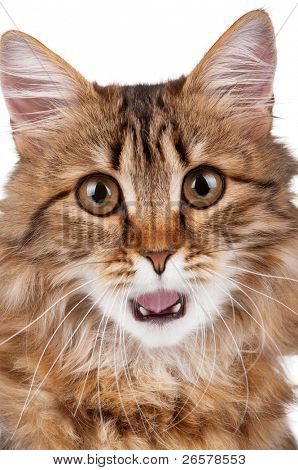 Portrait of pretty young cat over white background poster