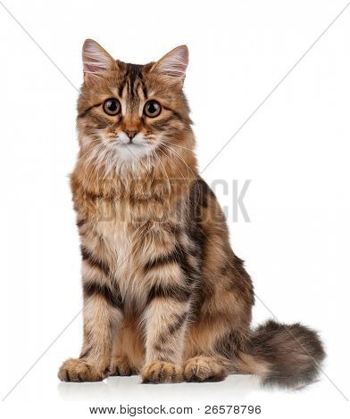 Cute young Siberian cat on white background