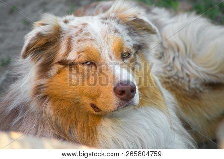 Portrait Of A Pedigree Stately Dog Happy Smiling Australian Shepherd Purebred Aussie Walks In The Pa