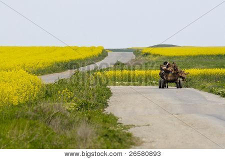 Horse Carriage On A Road Between Rapeseed Fields
