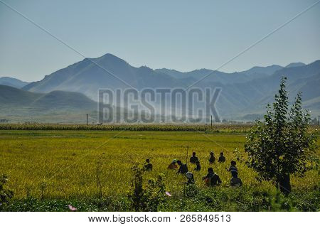 09/09/2018, Changrim, North-korea: Planned Economy Is Omnipresent In North-korea. Rice Farming With