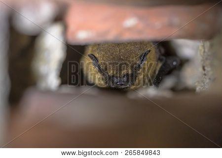 Hibernating Pipistrelle Bat (pipistrellus Pipistrellus) In Wall