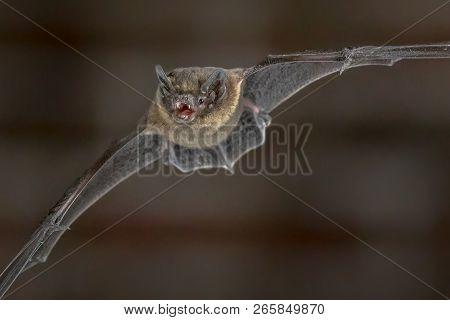 Nocturnal Pipistrelle Bat (pipistrellus Pipistrellus) Close Up. Flying In Urban Setting On Attic Of