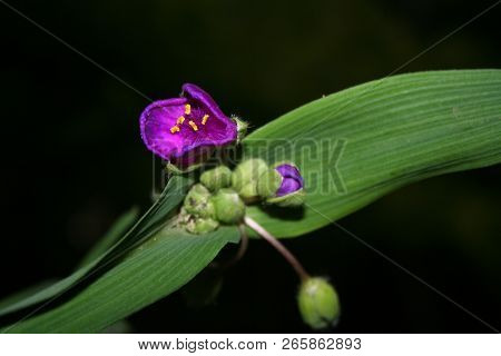 Anderson's Tradescantia. Beautiful bright flowering plant with large flowers. The plant is a family kommelinovye, most of them are indoor plants. But this species winters well in open ground. The flowers are collected in a flat umbrella-shaped inflorescen