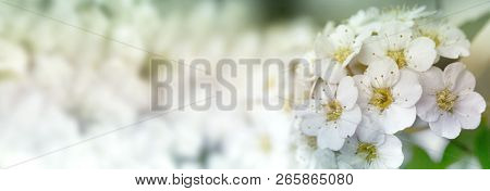 Closeup Of Flowering Shrub Bridal Wreath Spirea Floral Background.dewy Flowering Shrub Bridal Wreath