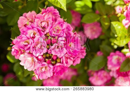 Beautiful Horizontal Background With Bright Vivid Pink Roses Blossom With Fresh Green Leaves