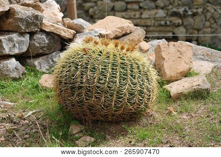 A Golden Ball cactus (Echinocactus Grusonii) growing at the monastery of Puig de Maria at Pollensa on the Spanish island of Majorca. It is also known as Golden Barrel and Mother-in-Law's Cushion.