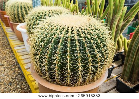 Cactus In The Pot For Planting Arranged In Rows Select And Soft Focus. Cactus Background And Texture
