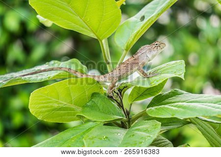 Close-up Of A Green Beautiful Lizard Or Lacertilia On Green Leaves In Forest