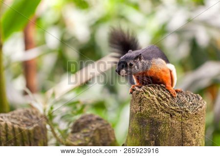 Tricolor Asian Prevost's Squirrel Sits On A Stump