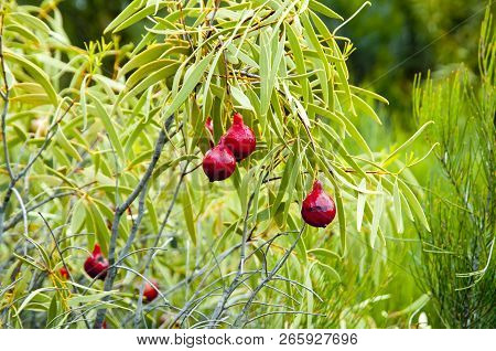 Desert Quandong Fruit Plant In The Outback