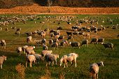 Large herd of sheep grazing in Field poster
