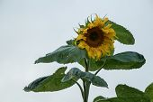 big sunflower against the sky in the daytime poster