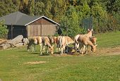 group of Asiatic wild asses, onagers (Equus hemionus) poster