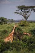 Two giraffe feeding in the Masai Mara National Reserve poster
