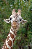 Giraffe stops in mid chew to check out the visitors at the zoo. He has a mouth full of hay. poster