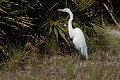 Great white Egret (Casmerodius Albus) sunning near the palmetto shrubs. poster