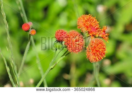 Red Flowers, Small And Bright Against A Green Background Of Fresh And Juicy Grass Close-up. Petals,