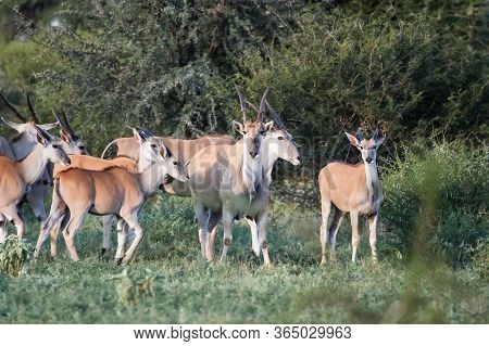 Females And Calves Of African Antelopes And Birds In The Bush. Young Bull With Female And Calves Of