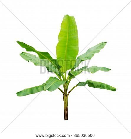 Banana Trees Isolated On White Background. File Contains A Clipping Path.