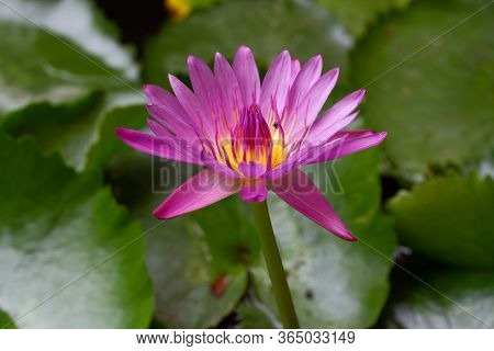 Pink Lotus Flower Nature In The Pond