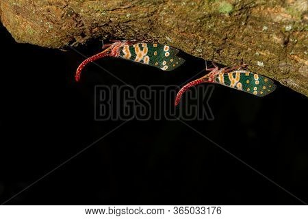Lantern Bug Or Lantern Fly Perched On A Tree On Black Background