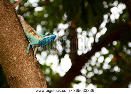 Blue Chameleon Perched On A Tree With Bokeh On The Back