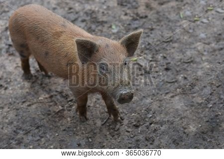Wild Boar. Close-up Piggy. Portrait Of A Cute Pig. Baby Pigs In Cute Posture. Pig Indoor On A Farm Y