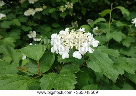 Close View Of Corymb Of White Flowers Of Viburnum Opulus In Mid May