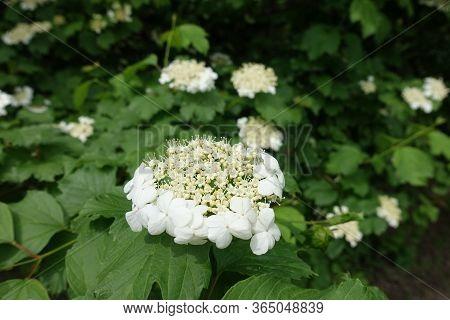 Corymb Of White Flowers Of Viburnum Opulus In Mid May